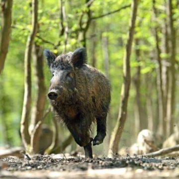 La responsabilità della PA per danno cagionato da fauna selvatica: natura della responsabilità e doveri della p.a.