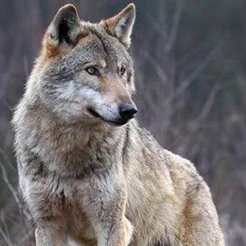La protezione del lupo (canis lupus) sul piano giuridico: evoluzione e prospettive